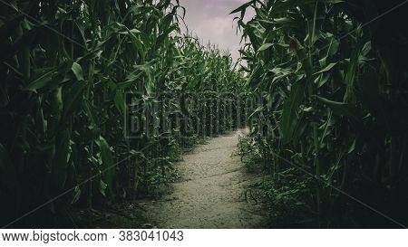 Lost In Spooky Summer Corn Maze Run, Chasing And Playing In Labyrinth Adventure With Moody Atmospher