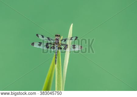 A Beautiful Dragonfly Sitting On A Aquatic Plant With Its Translucent Black Spotted Wings Opened On