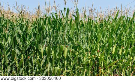 Landscape Of Green Cornfield One Sunny Day In Countryside. Beautiful Rural Summer Agricultural Scene