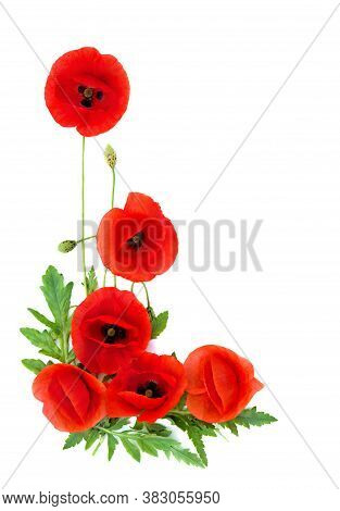 Red Poppies ( Binomial Name: Papaver Rhoeas ), ( Common Names: Common Poppy, Corn Poppy, Corn Rose,
