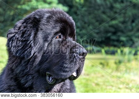 Single Large Black Newfoundland Dog Massive Broad Snout. Young Newfoundland Dog Playing On A Green F