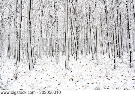 Winter Oak Forest In Snow With Oak Leaves On Snow.