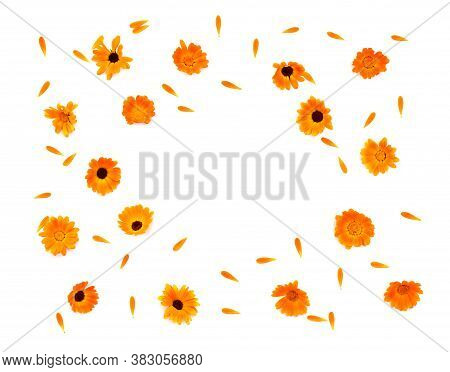 Medicinal Herb Flowers And Petal Calendula (calendula Officinalis, Pot Marigold, Ruddles, Garden Mar