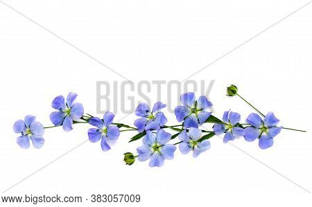 Flowers And Capsule With Seed Flax (linum Usitatissimum) Common Names: Common Flax Or Linseed On A W