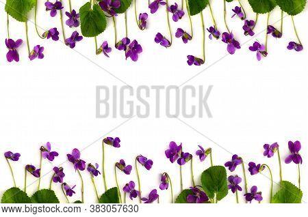 Flowers Viola Sororia (common Names: Common Meadow Violet, Lesbian Flower, Woolly Blue Violet, Hoode