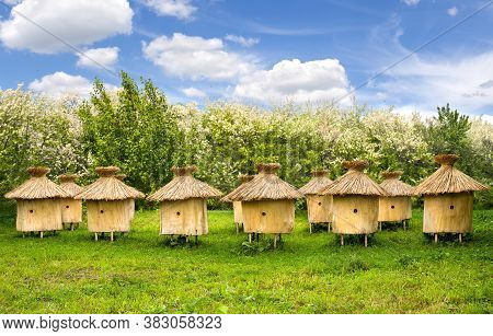 Wooden Beehives Of Honey Bees On Glade In Front Of Blooming Trees Acacia (robinia Pseudoacacia).