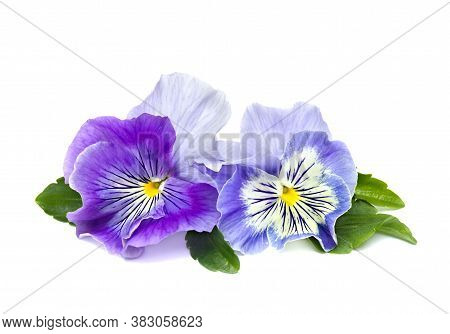 Pansies (viola Tricolor Var. Hortensis) On A White Background With Space For Text.