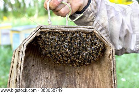 A Swarm Of Honey Bees In Wooden Box. A Western Honey Bee Or European Honey Bee (apis Mellifera)