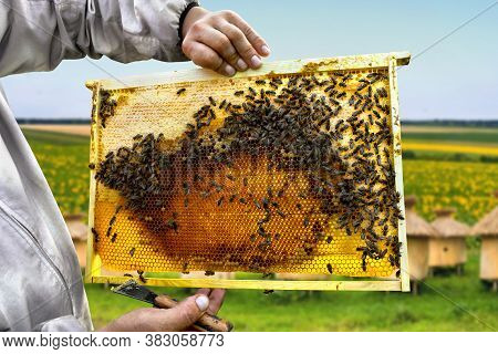 Bees (apis Mellifera) With Queen Bee On Honeycomb With Of Honey And Pollen In Wooden Frame In Hand B