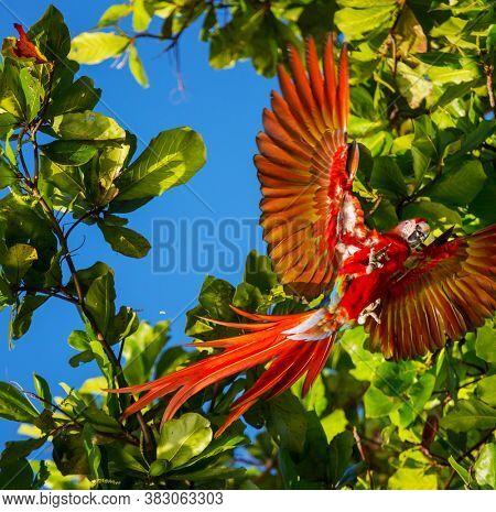 Red  Macaw Ara in the wild, Costa Rica, Central America