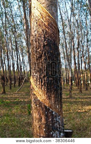 The trunk of rubber trees