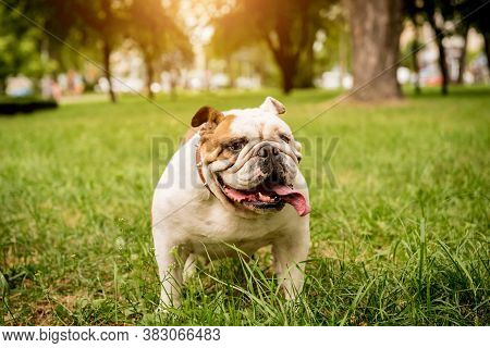 Portrait Of Cute English Bulldog At The Park.