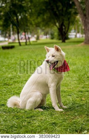 Portrait Of Cute White Akita Inu Dog At The Park.