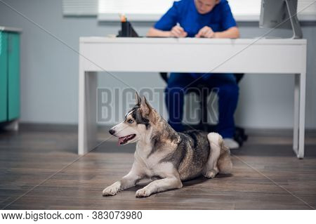 A Husky Dog Lying At The Feet Of Its Vet In A Clinic, Waiting For Its Owner To Return.