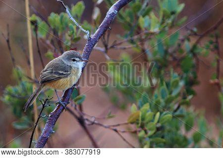 Rufous-sided Pygmy-tyrant (euscarthmus Rufomarginatus): Endangered Bird In Its Natural Habitat