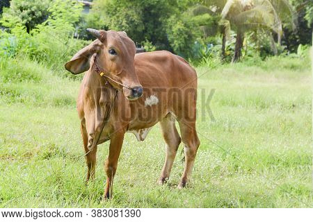 Cows In Thailand,artificial Insemination Fertilization At Agriculture Reproduction Farming.