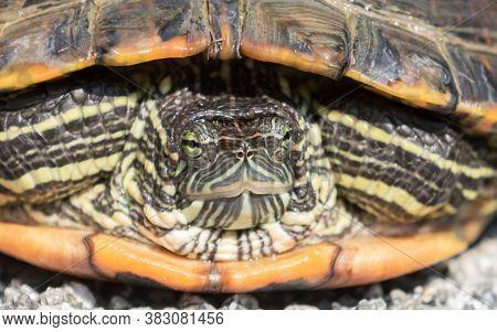 Suspicious Red-eared Slider Turtle. Water Slider Turtle Close-up.