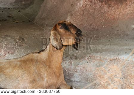 Brown Color Of Goat Laying Down On The Rock. It Is A Hardy Domesticated Ruminant Animal.