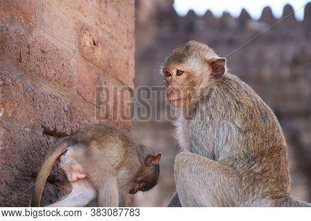Mom And Kid Of Crab-eating Macaque Monkey Sitting On The Laterite At Phra Prang Sam Yot (three Pagod
