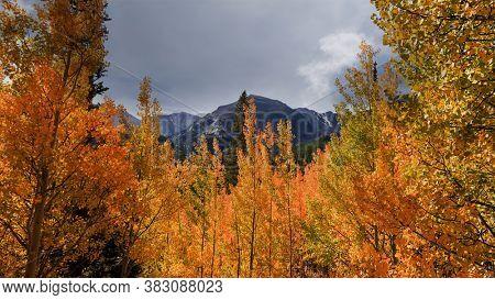 Colorful Aspen trees in Colorado rocky mountains