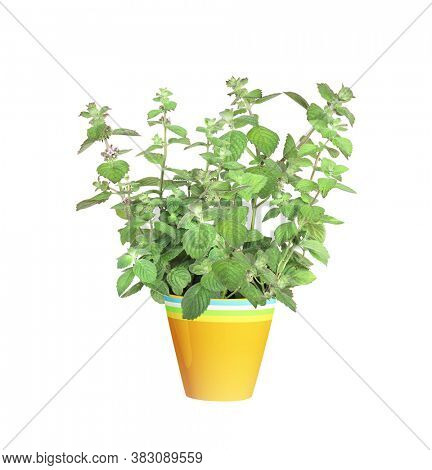 Branch of peppermint with green leaves. Sprigs of mint in flowerpot. Peppermint bush in a flower pot. Isolated on white background
