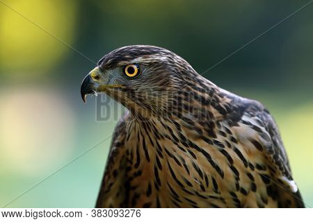 The Northern Goshawk (accipiter Gentilis), Portrait Of A Young Female Hawk With Colorful Background.