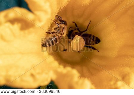 Close-up Of A Bee During Pollination Of A Yellow Flower Of A Young Organic Zucchini Plant In Vegetab