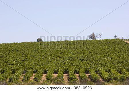 Vineyards In Douro, Oporto,  Portugal