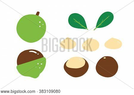 Set, Collection Of Cute Cartoon Style Vector Macadamia Nuts And Leaves For Healthy Food Design.