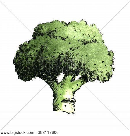 Hand-drawn Watercolor Image Of Broccoli. Jpeg Only