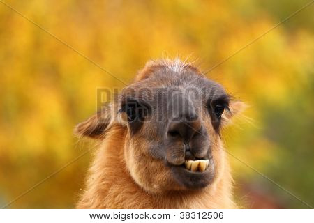 Llama Showing Its Teeht