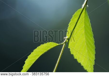 Blurred Background With Elm Leaves In Backlight Close Up For Design. Soft Focus And Beautiful Bokeh.