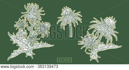 Pharmacy Milk Thistle Herb, Hand Drawn Botanical Line Art Illustration