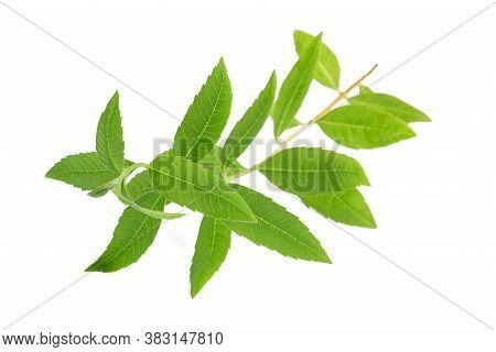 Lemon Verbena Isolated On A White Background