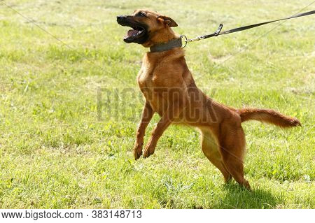 The Instructor Conducts The Lesson With The Belgian Shepherd Dog.