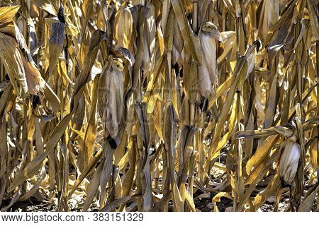 Dry Stalks And Cobs Of Ripe Golden Corn In The Backlight Close Up