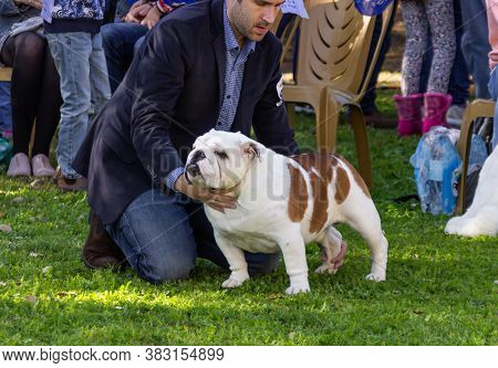 Acre, Israel, January 3, 2016 : English Bulldog With Its Owner At A Dog Festival - Competition In Th