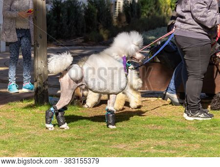 Acre, Israel, January 3, 2016 : A Poodle With Its Owner At A Dog Festival - Competition In The City