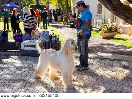 Acre, Israel, January 3, 2016 : An Afghan Hound Stands With Its Owner At A Dog Festival - Competitio