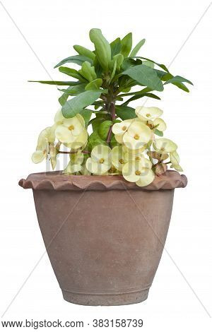 Yellow Euphorbia Milli Or Crown Of Thorns Flower Bloom In Pot Isolated On White Background Included