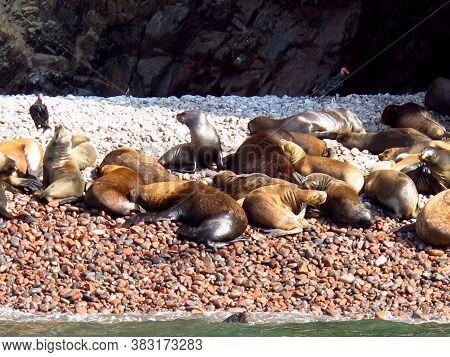 Seals On Rocks In The Pacific Ocean, Paracas, Peru