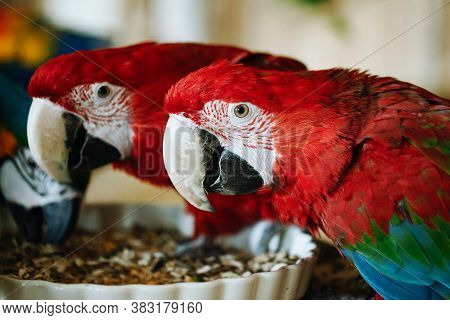 The Scarlet Macaw Bird. Ara Macao Animal. Two Red Twin Birds Sitting On A Wooden Construction. Zoo E