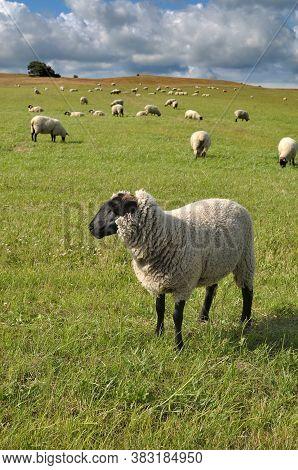 German Blackheaded Sheep On Ruegen At Baltic Sea,germany