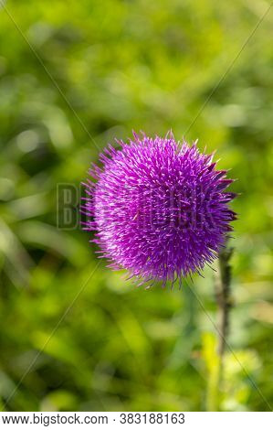 Pink Milk Thistle Flowers, Close Up. ( Silybum Marianum Herbal Remedy, Saint Mary\'s Thistle, Marian