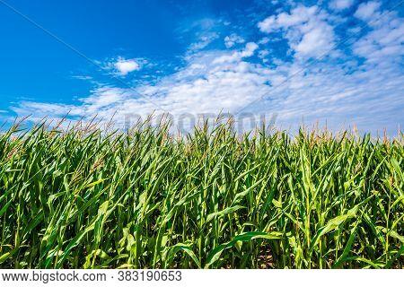 Green Maize Corn Field Plantation In Summer Agricultural Season. Skyline Horizon, Blue Sky Backgroun