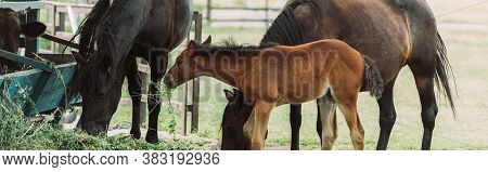 Horizontal Image Of Brown Horses With Colt Eating Hay On Farm