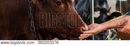 Partial View Of Rancher Touching Cow On Dairy Farm, Panoramic Shot