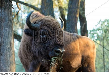 European Bison - Bison Bonasus \rin The Moldavian Reserve.
