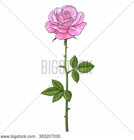 Pink Rose Flower Fully Open With Green Leaves And Long Stem. Realistic Hand Drawn Vector Illustratio