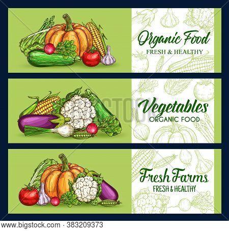 Farm Vegetables, Veggies Sketch Banner, Vector Chalkboard Food Market Harvest. Vegetables And Vegeta